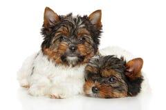 Biewer Yorkshire Terrier valpar Royaltyfria Bilder
