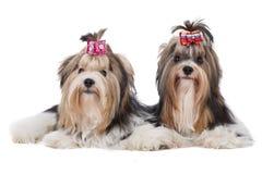 Biewer-Yorkshire terrier Stock Photos