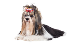 Biewer-Yorkshire terrier Stock Photo