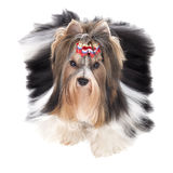 Biewer-Yorkshire terrier Royalty Free Stock Image