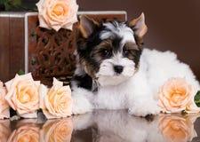 Biewer Yorkshire Terrier y rosas fotografía de archivo