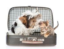 Biewer-Yorkshire terrierhund som sniffar den bengal katten i öppen påse Är Arkivfoton
