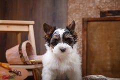 Biewer Yorkshire terriervalp Arkivfoton