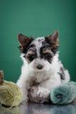 Biewer Yorkshire terriervalp Royaltyfri Fotografi