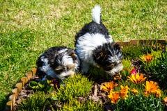 Biewer Yorkshire terriervalp Royaltyfri Foto