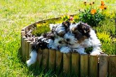 Biewer Yorkshire terriervalp Arkivbilder