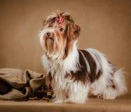Biewer yorkshire terriervalp på brun bakgrund royaltyfri foto