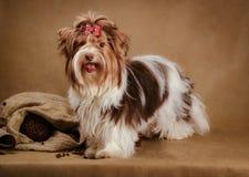 Biewer yorkshire terriervalp på brun bakgrund Fotografering för Bildbyråer