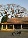 BIF-boom in Oude Tempel Royalty-vrije Stock Foto