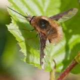 Bifluga (den Bombylius majoren) Royaltyfria Bilder