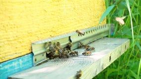 Bifluga i magasinet Ingång till bikupan lager videofilmer