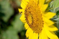 Bifluga på solrosen Royaltyfri Fotografi
