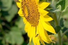 Bifluga på solrosen Arkivfoton