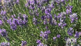Bifluga runt om lavendel stock video