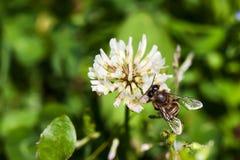 Bifluga till bikupan Fotografering för Bildbyråer
