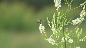 Biflugor bland små vita blommor, ultrarapid stock video