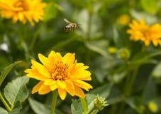 Biflyg från blomman till blomman Arkivfoto