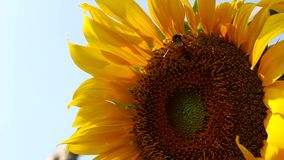 Biflyg med den gula solrosen lager videofilmer