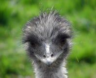 Bifolco dell'emù Fotografia Stock Libera da Diritti