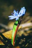 Bifolia de Scilla Fotografía de archivo libre de regalías