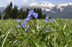 Bifolia de Scilla em montanhas de Piatra Craiului Foto de Stock Royalty Free