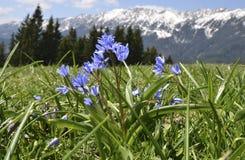 Bifolia de Scilla en montagnes de Piatra Craiului Photo libre de droits