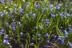 Bifolia de Scilla - floraison de petites fleurs bleues au printemps Images libres de droits