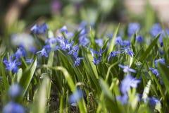 Bifolia de Scilla - floraison de petites fleurs bleues au printemps Photos libres de droits