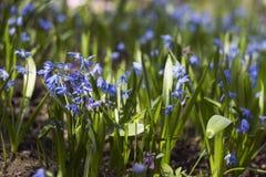 Bifolia de Scilla - floraison de petites fleurs bleues au printemps Photo stock