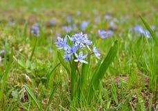 Bifolia de Scilla (scille alpine ou scille de deux-feuille) Image stock