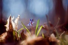 Bifolia L de Scilla da planta do Squill que obtém através das folhas caídas ao sol morno da mola em uma floresta, foto macro Foto de Stock Royalty Free