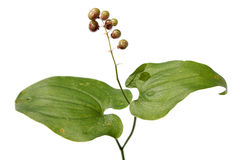 Bifolium de Maianthemum (lis de mai) avec le berr non mûr Photographie stock libre de droits