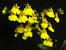 bifolium oncidium兰花 免版税图库摄影