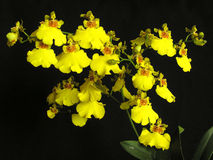 bifoliumoncidiumorchid royaltyfri fotografi