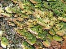 Biforme de Trichaptum do cogumelo Fotografia de Stock