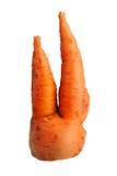 Bifurcated crooked carrot Stock Image