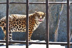 A Big Сat. This cheetah lives in a zoo in our town(Kazan, Russia). It seems to be hungry all the time Stock Photos