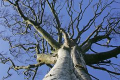 Big. Tree foiageless and blue sky Royalty Free Stock Images