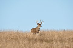 Big 4X3 Black-tailed Buck Stock Image