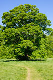 Big Acer tree on a sunny day Royalty Free Stock Photography