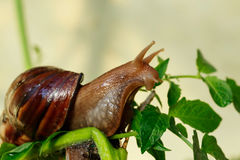 The big Achatina snail. Eats a green leaves Stock Images