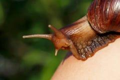 The big Achatina snail Royalty Free Stock Photos