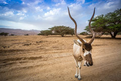 Big addax of Middle East Royalty Free Stock Image