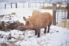 Big adult boar of Mangalitsa breed in the winter on the snow. The brood is developed from older types of Hungarian pig crossed with the wild boar and serbian Royalty Free Stock Image