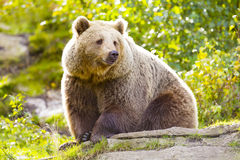 Big adult brown bear sitting in the sunset Stock Images