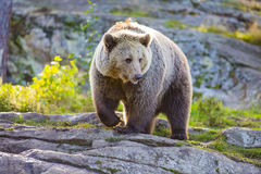 Big adult brown bear in the sunset Stock Photo