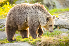 Big adult brown bear walking in the sunset Royalty Free Stock Photography