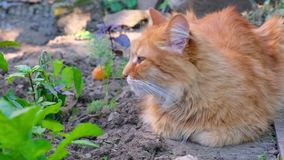 Big adult cat lies on the ground and falls asleep, summer day. Close up stock video footage