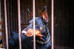 Big adult doberman in the old aviary royalty free stock image