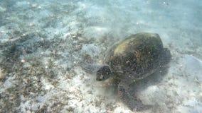 Big Adult green sea turtle Chelonia mydas. Adult green sea turtle Chelonia mydas graze in red sea, Marsa Alam, Egypt stock footage